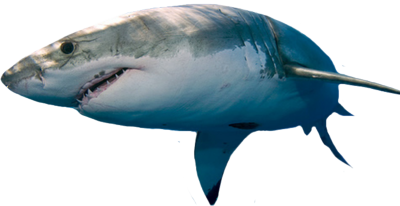 Great-White-Shark-psd82958